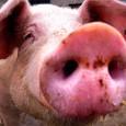 """La sempre più totale """"denigrazione verso i maiali"""""""